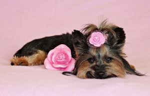 Yorkshire Terrier mini floreado.