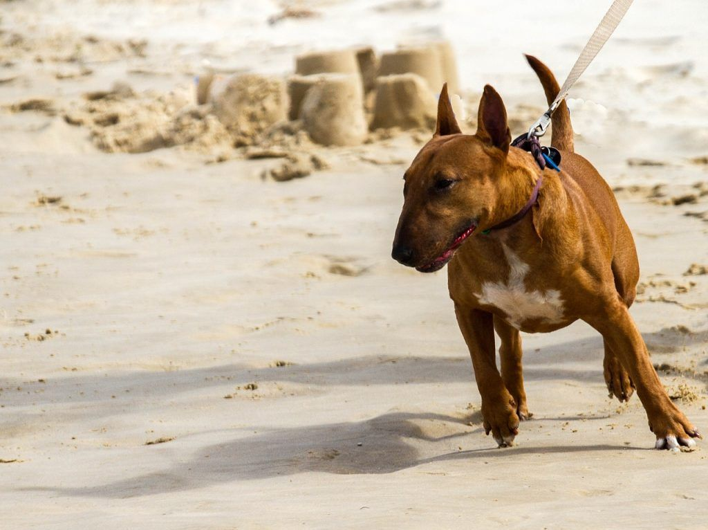 bull terrier mini en la playa
