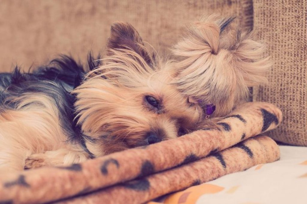 yorkshire terrier mini durmiendo