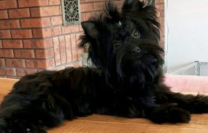 Yorkshire Terrier mini negro.