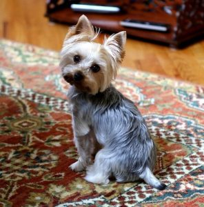 yorkshire terrier mini plata