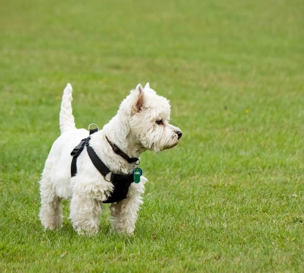 west highland white terrier 6