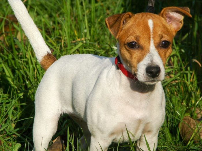 jack russell terrier manto