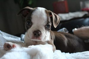 boston terrier bebe